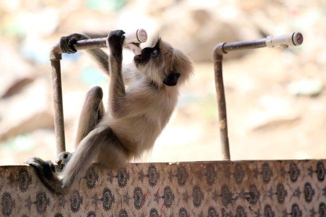 印度出現超級熱浪,猴子抱著水管硬吸。(Getty Images)