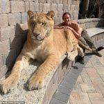 319公斤「巨貓」超溫馴 保育人士曬合照卻挨罵