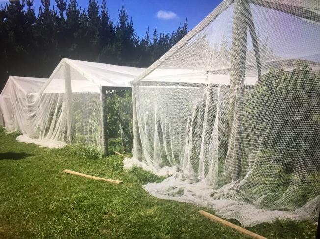 櫻桃樹用網包裹,預防鳥吃。