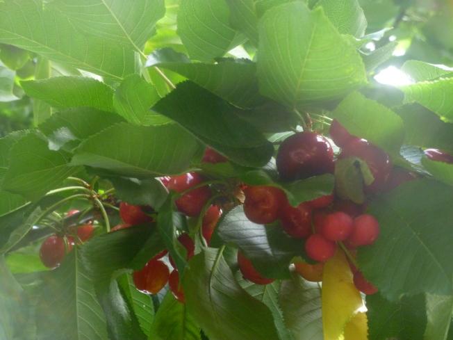 生長中的來尼爾櫻桃。