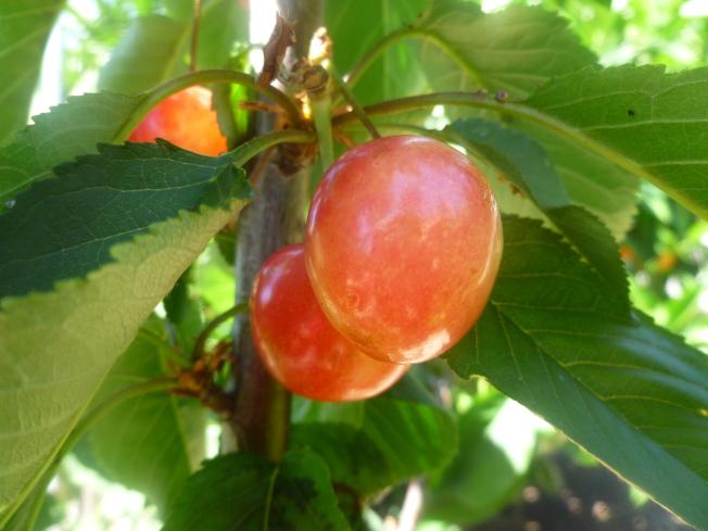 成熟的來尼爾櫻桃。