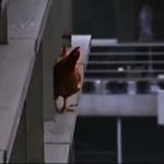 嚮往自由…杭州老母雞從24樓越獄  逃7天還是被宰了