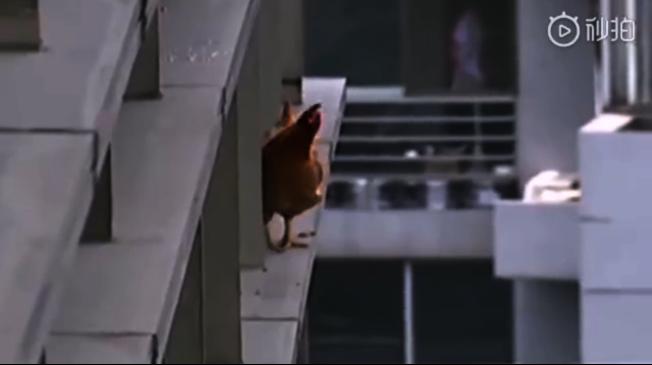 杭州一隻母雞日前在主人動刀的瞬間掙脫而出,從主人家24樓的露台一躍到了隔壁頂樓玻璃幕牆外沿的一個小平台上。(視頻截圖)