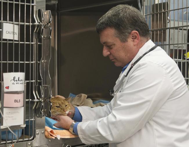 動物醫療中心的獸醫檢查流浪貓的身體狀況。(美聯社)