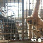 保育動物悲歌 長臂猿慘關31年、馬來熊指甲插指肉