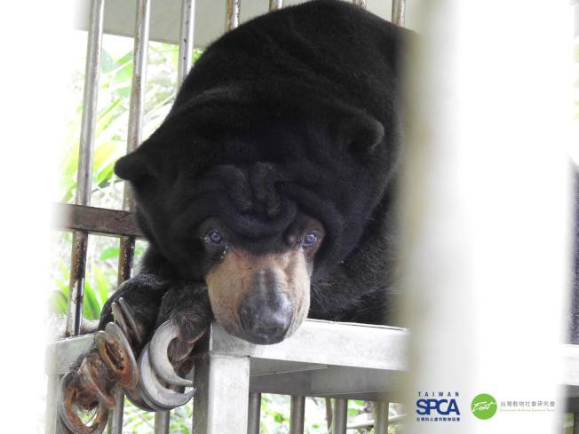 位於雲林的馬來熊,圈養環境及動物福利狀況極度惡劣,飼主未依動物習性飼養,多年來不曾改善飼養環境,導致馬來熊指甲過長倒鉤插進腳掌,影響行動,造成動物的痛苦。(圖:台灣防止虐待動物協會提供)