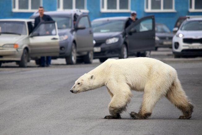 一隻飢餓的北極熊出現在俄國諾里爾斯克市郊區馬路上。Getty Images