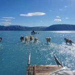 圖片說話北極太熱海冰融化 雪橇狗滑冰變滑水