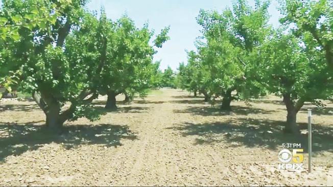 這就是「矽谷最後一個果園」,位於桑尼維爾社區中心背後。(電視新聞截圖)