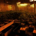 天普市兩華裔非法種大麻被補 查獲1600株大麻