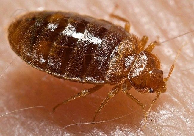床蝨通常在夜間吸食人血維生。(取自維基百科)