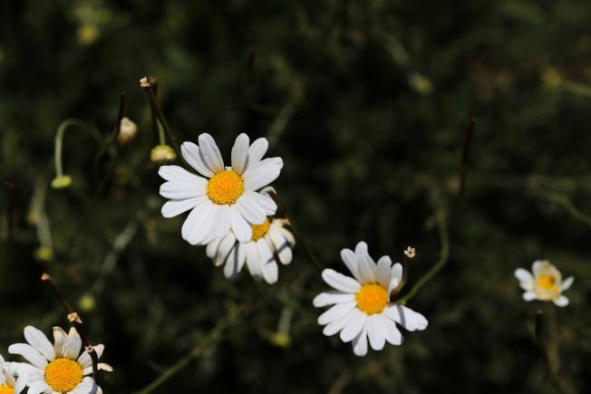 除蟲菊。(新華社資料照片)