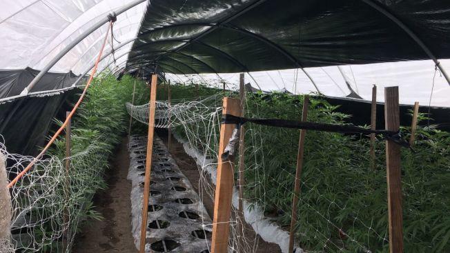 聖塔芭芭拉縣警局在聖易涅茲谷(Santa Ynez Valley)Buellton市郊查獲20噸大麻,並銷毀35萬株大麻。(聖塔芭芭拉縣警局提供)