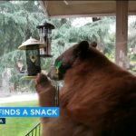 飢餓棕熊大方入鏡  侵入洛城民宅吃鳥食