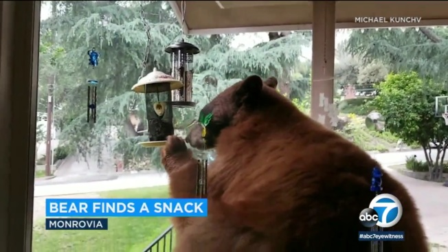 一隻體積龐大的棕熊,日前進入洛縣蒙羅維亞市一處民宅,大吃鳥餵食器裡的鳥食。(ABC news)
