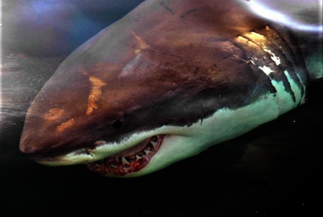 大白鯊近年來是鱈魚角周圍水域的常客。(美聯社)
