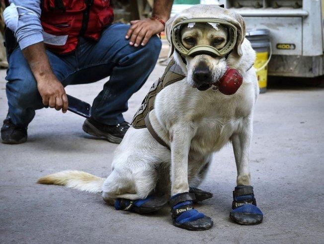 墨西哥著名搜救犬 Frida,服役長達9年之後,在24日終於光榮退休。現年10歲的Frida,曾在2017年9月墨西哥大地震的搜救任務中大為活躍,奮勇救難的身影,成為當時墨西哥的國民英雄。 (Getty Images)