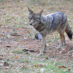 薩拉度加郊狼出沒 警籲減少食物誘惑