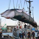 時隔30多年 日本重啟商業捕鯨