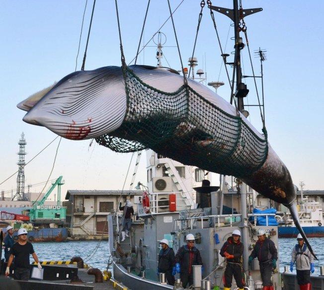 中斷30年,日本7月1日重啟商業捕鯨。 美聯社