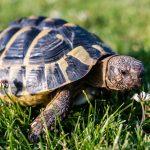 新州進入海龜築巢季 開車要提防母龜過馬路