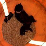 日本黑熊母帶子覓食跌進牧場飼料桶 糗變玉米吃到飽