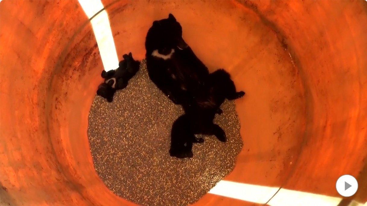 母熊和兩頭小熊跌落裝著玉米的飼料桶內。圖/取自FNN網站