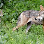 土狼猖獗 32城市聯手作戰