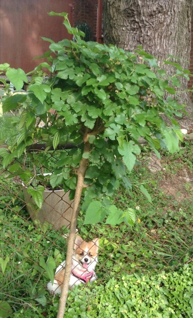 自己冒出來的小桑樹。