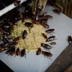 研究實測:蟑螂越來越強 近乎殺不死