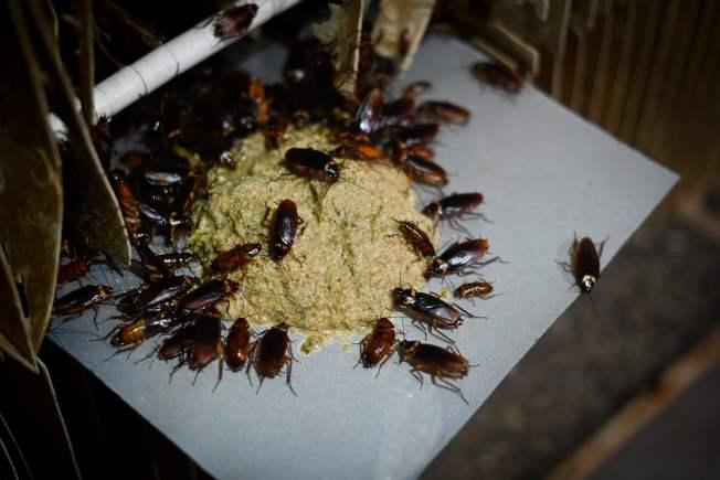科學研究指出,蟑螂對殺蟲劑有抵抗力,幾乎殺不死。圖為中國養殖蟑螂的農場。(Getty Images)