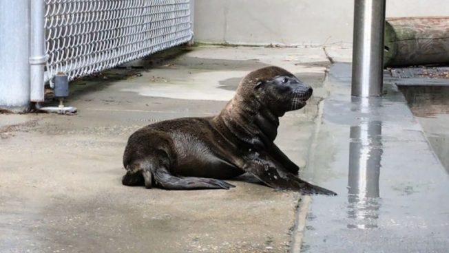 海獅「卡莉」上周日產下一隻小海獅。(國家動物園提供)
