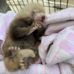 超萌!國家動物園迎來新生命 小熊貓、海獅寶寶夏末見客