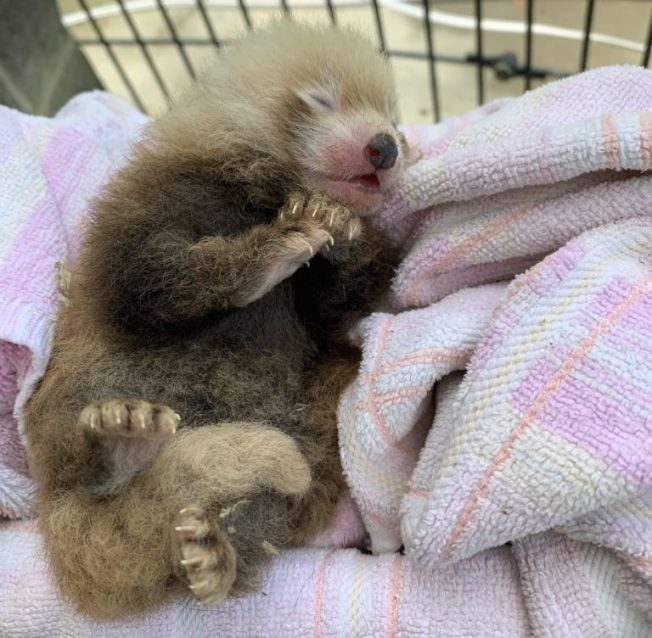 「月光」產下的小熊貓,目前身體健康狀況良好。(國家動物園提供)