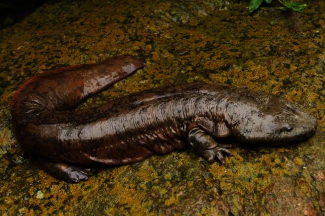 賓州的兩棲類象徵動物美洲大鯢。(網路圖片)