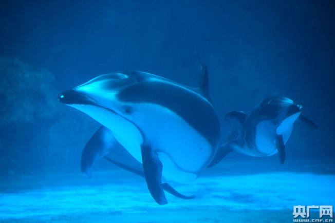 三頭新生太平洋白邊海豚公開亮相。(取材自央廣網)