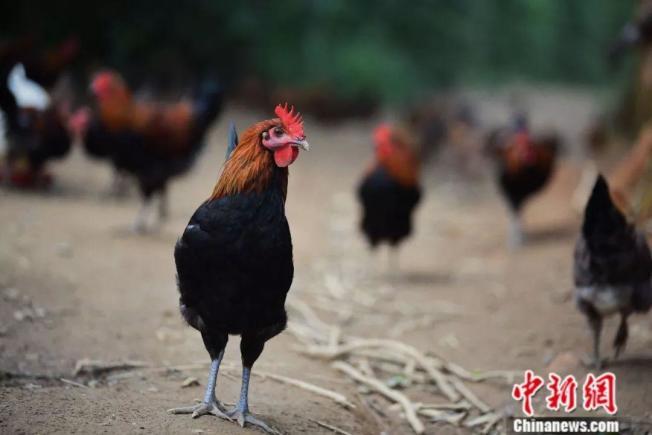 在茶园中自由活动的鸡。(取材自中新网)