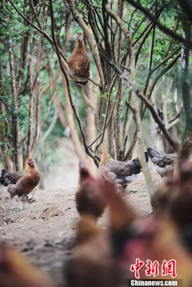 一只母鸡「飞」到茶树上「咕咕」叫。(取材自中新网)
