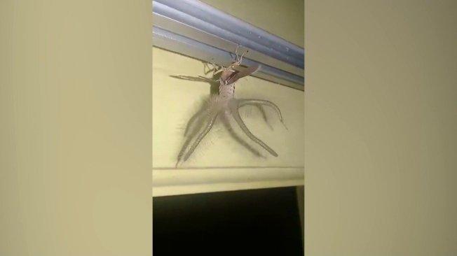 印尼峇里島的一戶人家上月拍到狀似外星人的怪奇生物在自家天花板亂竄,雖然物種目前仍不明,但《每日郵報》稱部分特徵類似於東南亞與澳洲的原生物種「黑條灰燈蛾」。美聯/ViralPress