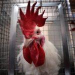 啼叫聲擾人清夢 公雞罕見成法國訴訟案被告
