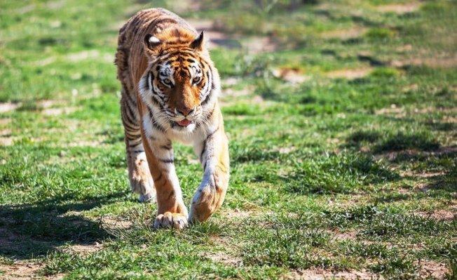 義大利南部馬戲團豢養的一群老虎,彩排期間群起攻擊並咬死牠們的資深馴獸師。示意圖/ingimage