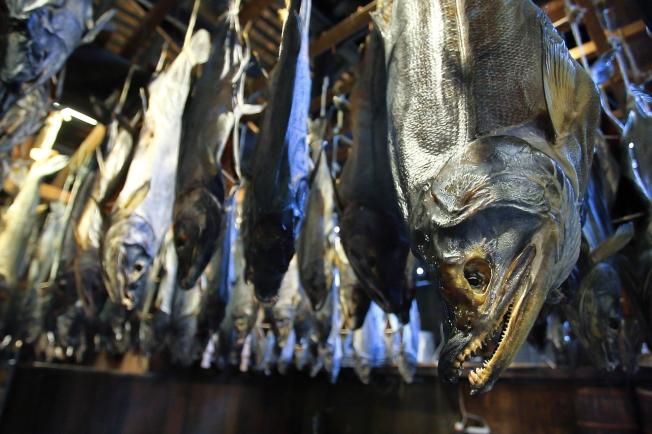 鮭魚依照性別,頭型有所不同。公的肉香,母的油脂多,各有滋味。記者陳睿中/攝影