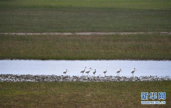 位於江蘇鹽城東部沿海的大豐麋鹿國家級自然保護區,一群黑臉琵鷺在水邊棲息。(取材自新華網)