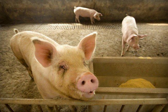 中國農業農村部今晚宣布,陜西省境內日前死亡的9頭野豬中,位在佛坪縣的3頭野豬被檢驗出非洲豬瘟病毒。美聯社