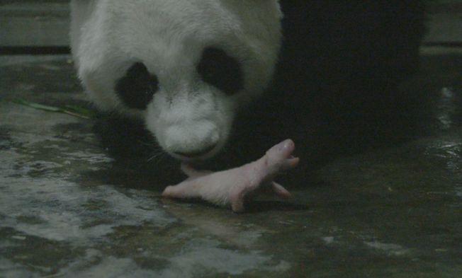 《功夫熊貓》阿寶誕下全球最重大熊貓龍鳳胎,體重均超過200公克,圖為牠在舔舐小寶寶。(取材自四川新聞網)