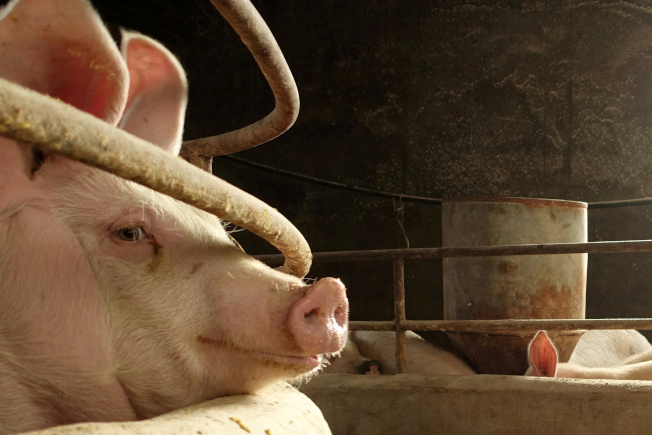 非洲豬瘟日前肆虐中國多地,即使防疫嚴格仍阻擋不了疫情擴散。(路透資料照片)