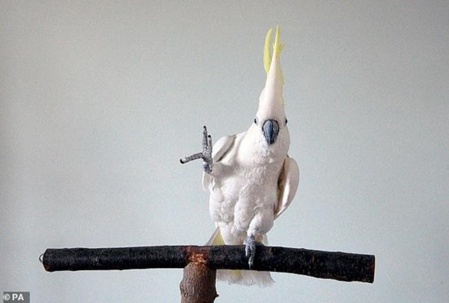 鳳頭鸚鵡「雪球」隨著音樂翩翩起舞的影像2007年被上傳YouTube後,當時紅遍網路與電視節目。加州大學聖地牙哥分校的科學家近年回頭檢視「雪球」的跳舞影像,藉此尋找動物跳舞的秘密。翻攝自PA/MAILONLINE
