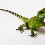 首隻DNA培養水蜥蜴 僅活2年