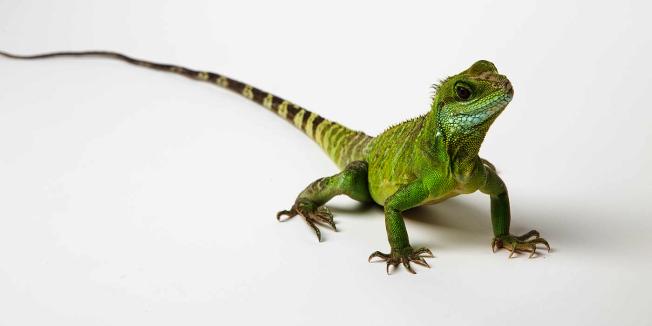 華府國家動物園首隻由DNA培養的亞洲水蜥蜴因血癌死亡。(國家動物園提供)