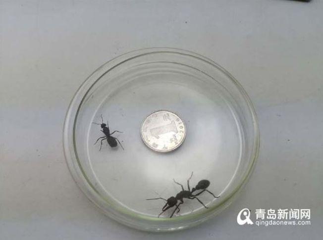 青島郵局海關查獲的活體螞蟻,大小接近一元硬幣。(取材自青島新聞網)